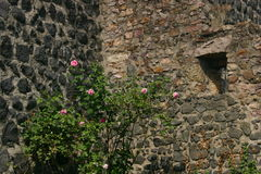 Rosebush. Growing wild in front of castle ruins royalty free stock image