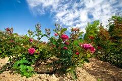 Rosebush. In the rose plantation stock photo