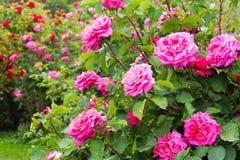rosebush Photos stock