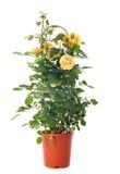 rosebush Images stock