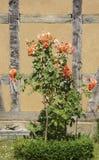 rosebush Стоковые Изображения RF