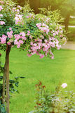 rosebush Immagini Stock