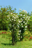 rosebush Image libre de droits