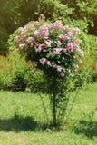 rosebush Royaltyfri Fotografi
