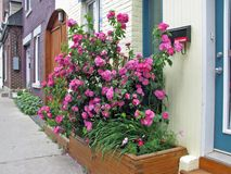 rosebush Lizenzfreie Stockfotos
