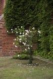 rosebush Стоковая Фотография