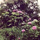 rosebush Zdjęcia Royalty Free
