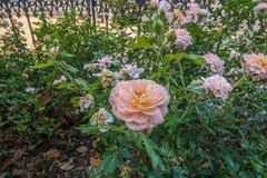 rosebush Arkivfoto