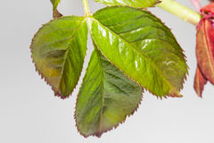 rosebush Photo stock
