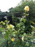 Rosebush amarillo detrás de la cerca del parque Foto de archivo libre de regalías