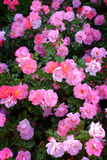 Rosebush as Part of Landscaping for Home royalty free stock photography