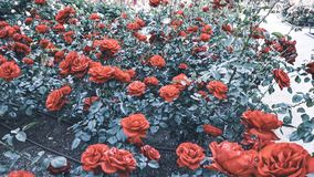 Rosebush background of red roses stock photo