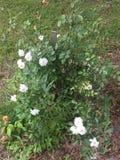 Rosebush blanco de Granny's restablecido Foto de archivo libre de regalías