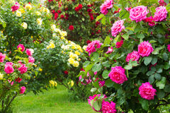 Rosebush Royalty Free Stock Photos