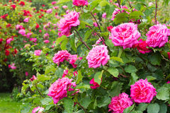 Rosebush Stock Photos