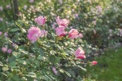 Rosebush en la puesta del sol Fotografía de archivo