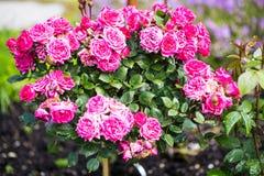 Rosebush, floribunda rose, in the garden. Spring stock images