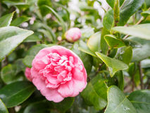 Rosebush Royalty Free Stock Photography