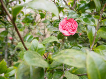 Rosebush Royalty Free Stock Image