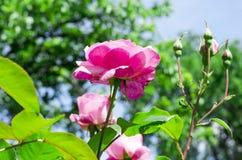 Rosebush in a garden Royalty Free Stock Photo