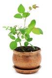 Rosebush in a golden pot Royalty Free Stock Photo