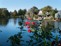 Rosebush with lake and buildings out of focus. Red Rosebush, lake and luxury water front property with doc Stock Photography