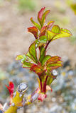 Rosebush. Little rose bud in spring Stock Photo