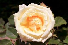 Rosebush Royalty Free Stock Images