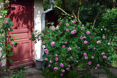 Rosebush with pink flowers. With barn door on the background Stock Photos