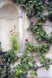 Rosebush que sube Imagen del color Imagen de archivo