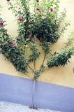 Rosebush que sube Imagen del color Fotografía de archivo