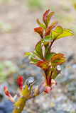 Rosebush. Rose bud growing in spring Stock Photo
