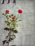 Rosebush Royalty Free Stock Photography