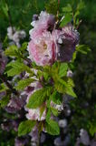 Rosebush Royalty Free Stock Photo