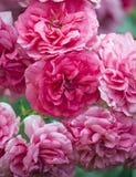 Rosebush Stock Images