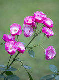 Rosebush Royalty Free Stock Image