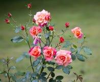Rosebush Stock Image