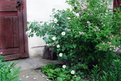 Rosebush with white flowers. With barn door on the background Stock Images