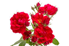 Rosebush on white Stock Photos