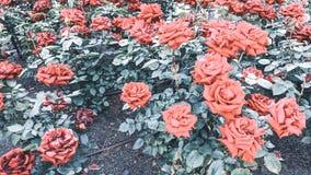 Rosebushachtergrond van rode rozen stock fotografie