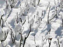 Rosebushes in de sneeuw Stock Fotografie