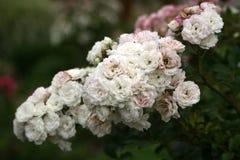 Rosebushes está floreciendo en los jardines de los viajes de un castillo cerca (Francia) Imagenes de archivo
