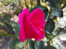 Rosebut在焦点 免版税库存照片