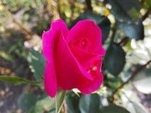 Rosebut nel fuoco Fotografia Stock Libera da Diritti