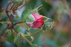 Rosed i natur arkivfoton