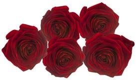 5 rosees vermelhos para o amor no branco Foto de Stock Royalty Free