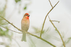Rosefinch Stockfoto