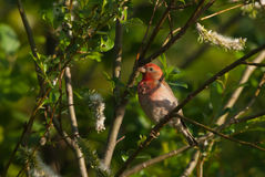 Rosefinch on a branch Royalty Free Stock Image