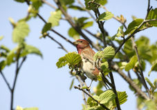 Rosefinch común. Imagen de archivo libre de regalías