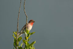 Rosefinch Stock Images